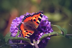 Tortoiseshell Butterfly photo by join the dots
