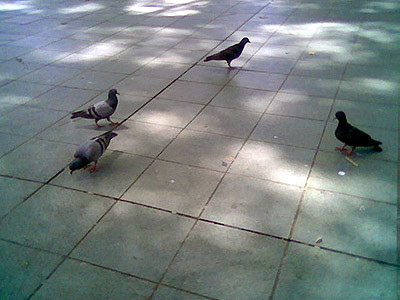 I've never thought I'll be able to catch a picture of pigeons this near. Other exotic wild birds fly down the pavements undmindful of the throngs of people passing by