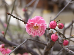Plum Blossom in Kyoto