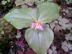 Flower Butano State Park.jpg