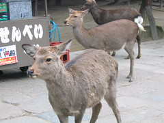 Tame Deer in Nara Park