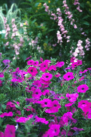 petunias and snapdragons
