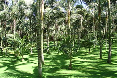 Forest of palms