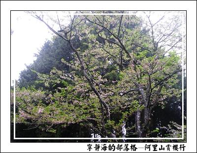 阿里山賞櫻行_櫻花樹