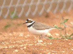 Little Ringed Plover, Elvas (Portugal), 23-Apr-06