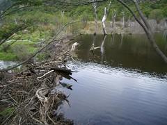 Ushuaia - 17 - Beaver dam