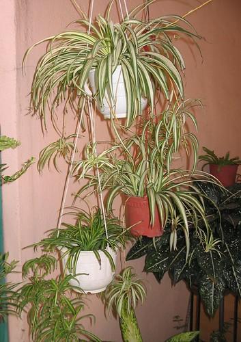 Hanging pots of Chlorophytum comosum (Spider Plant, Air Plant, Ribbon Plant)