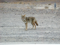 Coyote@Death Valley