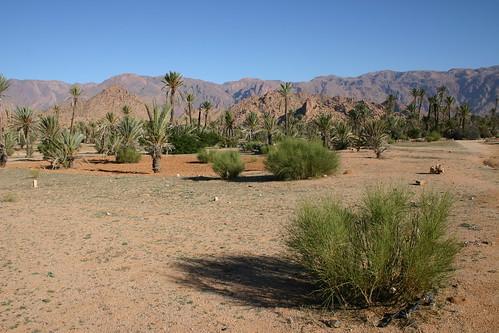 Palm grove outside Tafraoute, December 2005.