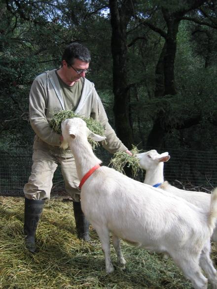 Pascal Feeding Goats