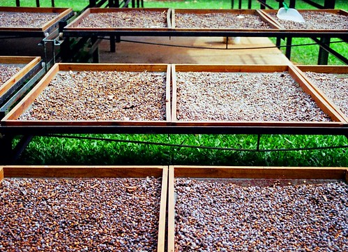 coffee drying in Costa Rica