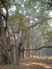 The Great Banyan Tree in Kolkata
