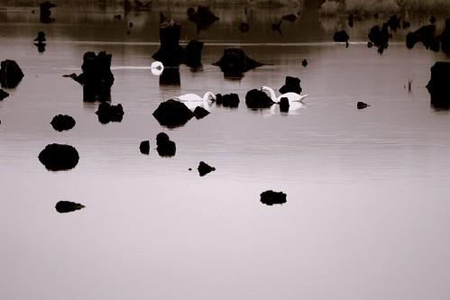 Gearagh Swans