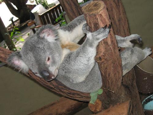 koala_1