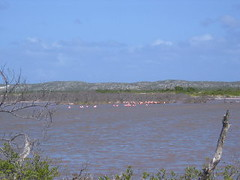 Flamingos in Salt Flats,  South Caicos