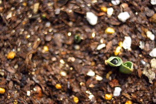 チューリップの新芽