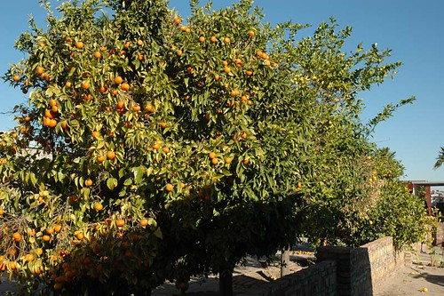 Yuma orange tree