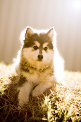 Fable - Australia's first Blue Domino Finnish Lapphund photo by ~*Shell*~ [needs to get organised!]