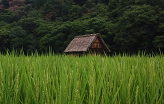 House in a rice field photo by forced rhubarb