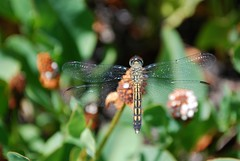 11a. Dragonfly Photo