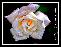 White Rose Crying photo by Ali Ziya Çamur