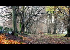 Beech Trees - Sheriffmuir photo by angus clyne