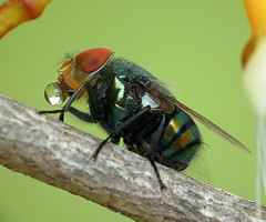 Blowfly blowing bubbles photo by James Niland