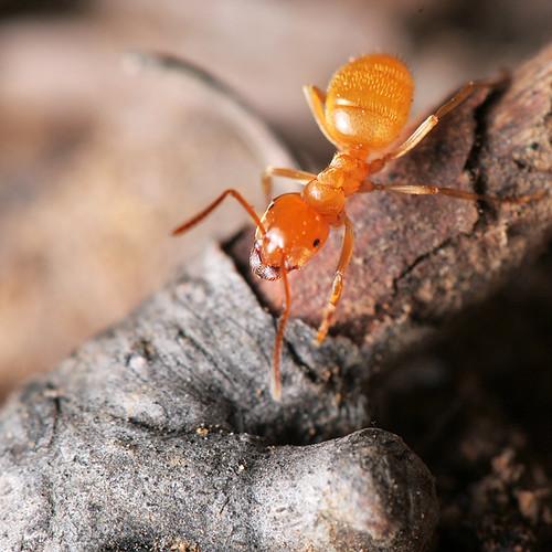 Fourmi / Ant
