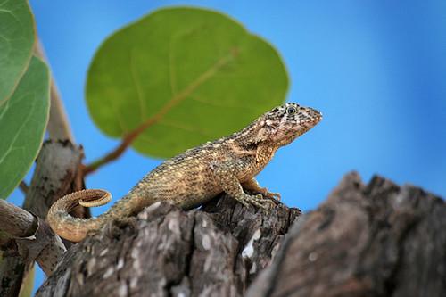Lézard / Lizard