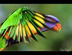 In the glimpse of an eye.... Rainbow Lorikeet inflight photo by Vanessa Mylett