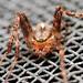 Araignée / Spider