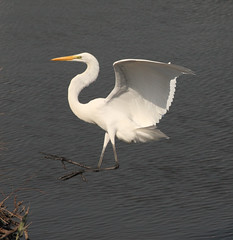 Photo of the Week - Great Egret at Forsythe National Wildlife Refuge, NJ photo by U. S. Fish and Wildlife Service - Northeast Region