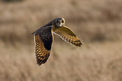 "Short Eared Owl (Asio flammeus) photo by ""Clare"""