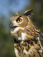 Eagle Owl photo by SeattleSandro