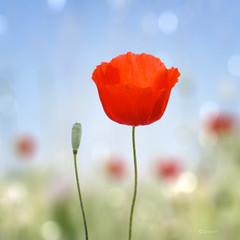 Poppy photo by C-Smooth