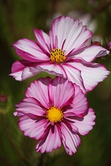 Painted Cosmos photo by mclcbooks
