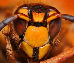 Wasp Portrait - 7 Shot Focus Stack. photo by VonShawn