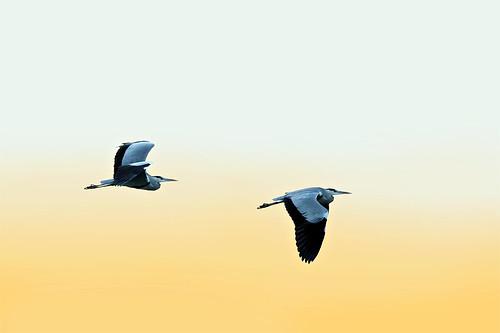 Vol de cigognes  / White storks flight