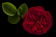 Blood Red Rose photo by PhotoQueen001