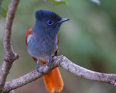 Papa-moscas-africano / African paradise flycatcher photo by António Guerra