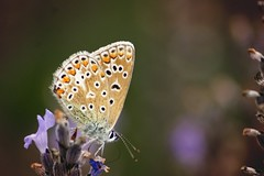 Common Blue Butterfly #3 photo by join the dots