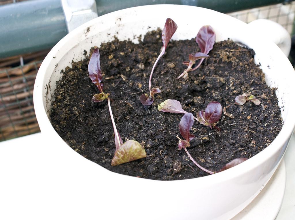 Lettuce - June 30