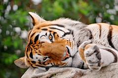 Lazy tiger photo by Tambako the Jaguar