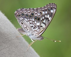 Hackberry Emperor - wild photo by Vicki's Nature