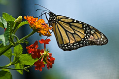 Monarch Butterfly @ Nature Center photo by Laura Ashley Varney