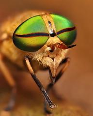 Greenhead Horsefly - Tabanus Nigrovittatus photo by VonShawn