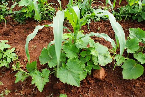 Asociaci n de cultivos taringa for Asociacion de hortalizas