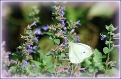 Come to think of it, I've never actually seen a Cabbage White on a Cabbage-have you? photo by makeupanid