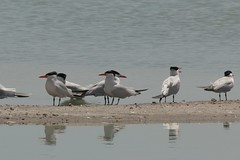 8d. Caspian Terns Photo