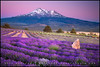 Shasta Lavender photo by Sean Bagshaw
